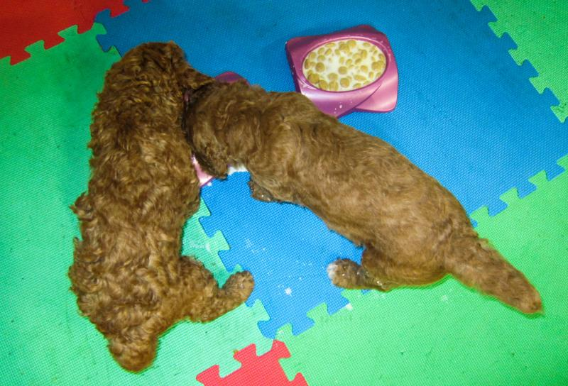 Colorado Red Royal Standard Poodles - Poodle Coats - Curly ...
