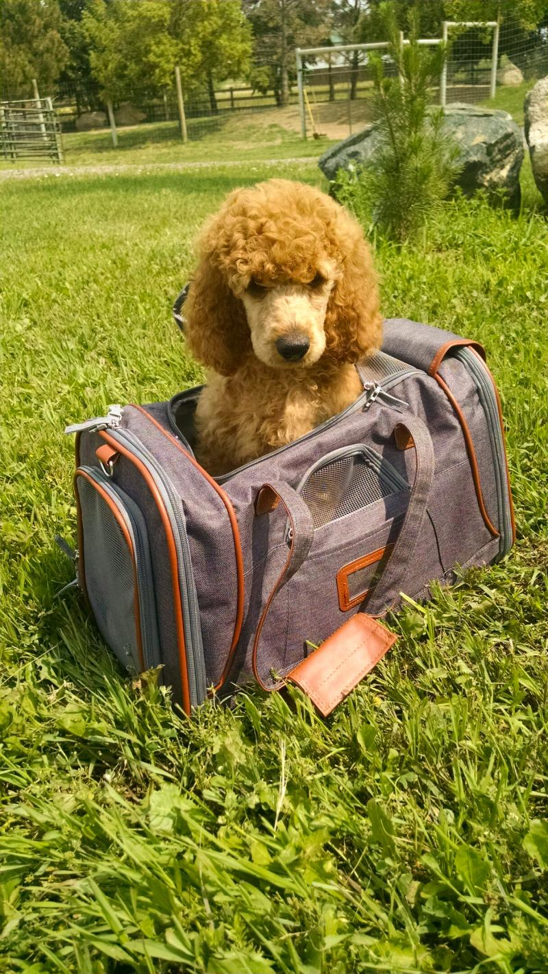 Colorado Red Royal Standard Poodles Reserving A Puppy